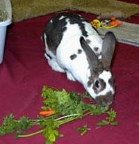 rabbit eating greens
