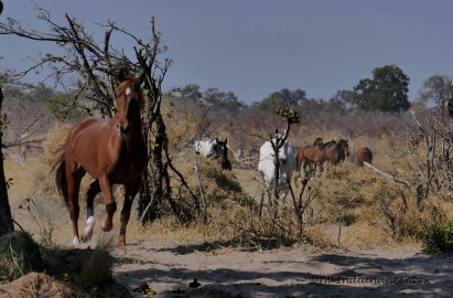 The horses of Macatoo arriving back to the stables after a nice afternoon of grazing