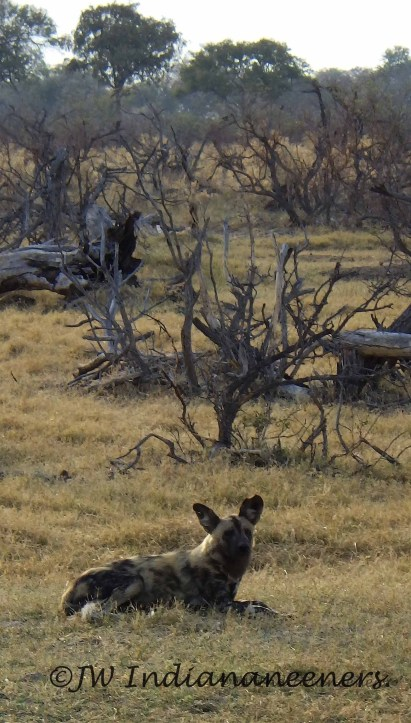 One of the top three rarest carnivores in Africa just strolling through camp!