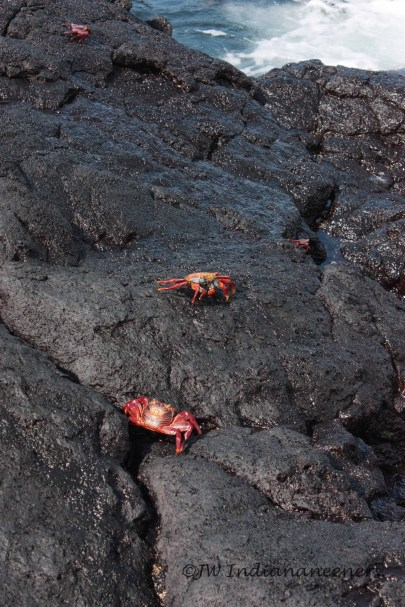 Because of their pointed legs Galapagos sally lightfoot crabs can get an amazing hold on the lava rocks. They will stick the tips of their legs in the tiny holes in the lava and hold on tight. This way, they can avoid falling off, even when powerful waves wash over them.