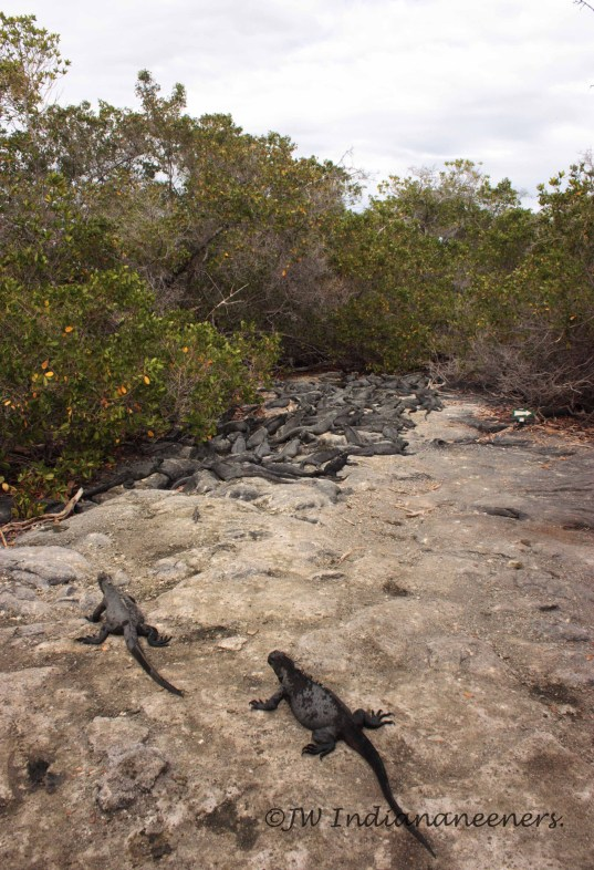 "Charles Darwin described the marine iguanas as ""hideous-looking"" and ""most disgusting, clumsy lizards."" I find them fascinating!"