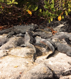 The dark grey colour of the marine iguana is better to absorb sunlight after their forays into the frigid Galápagos waters.