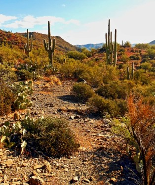 Slightly obsessed with the Saguaro! Saguaro can grow to be between 40-60 feet tall (12-18m).