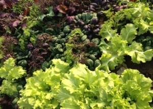 Indianapolis Lettuce