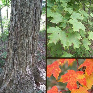 Hard Maple Learn How To Identify A Hard Maple Tree In Indiana