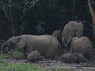 Poaching of old forest elephant matriarchs threatens rainforests-indianbureaucracy