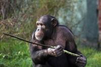 Chimpanzees_indianbureaucracy