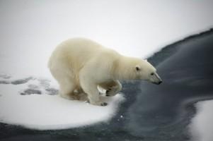 polar-bear_indianbureaucracy