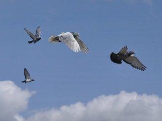 pigeon-flock-members-_indianbureaucracy