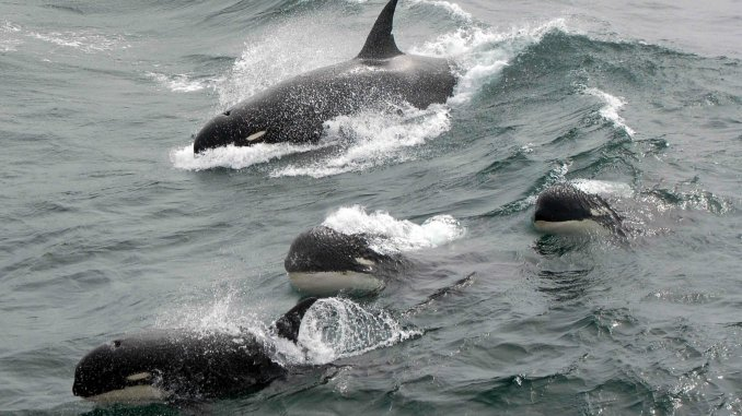 Scientists find mystery killer whales off Cape Horn, Chile
