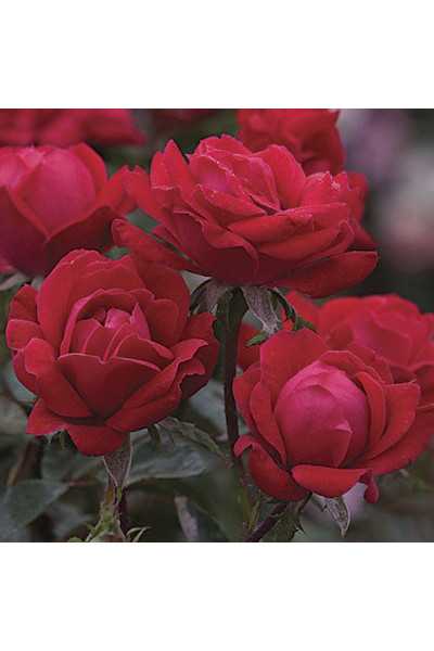 Double Knock Out Shrub Rose plants for sale in Omaha