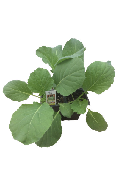Cabbage plants in Omaha