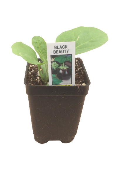 Black Beauty Eggplant plants for sale in Omaha