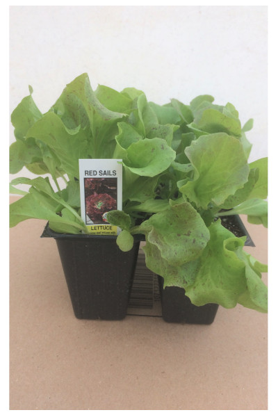 Red Sails Lettuce plants in Omaha