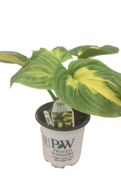 Hosta Shadowland Etched Glass plants in Omaha