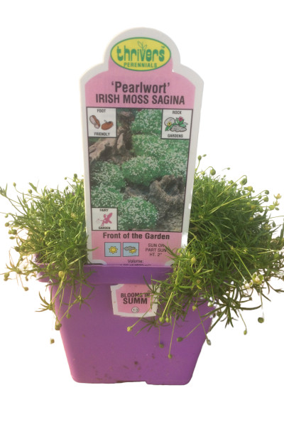 Irish Moss Groundcover plants in Omaha