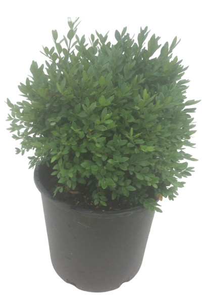 Chicagoland Boxwood plants in Omaha