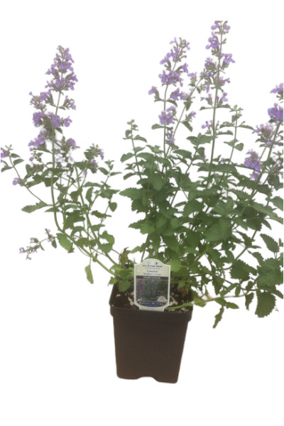 Nepeta Walkers Low Catmint plants in Omaha