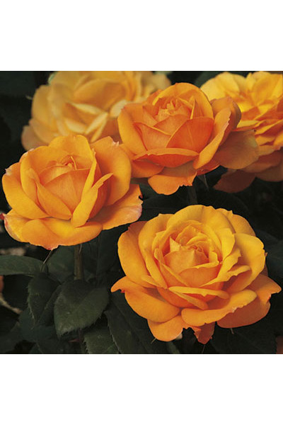 Good as Gold Rose plants for sale