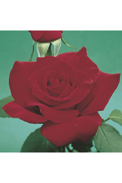 Olympiad Rose plants for sale
