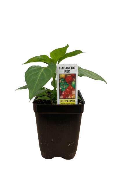Habanero Hot Red Pepper plants for sale in Omaha