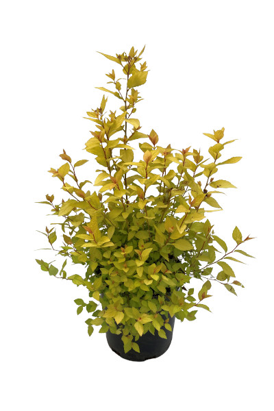 Goldmound Spirea shrubs for sale
