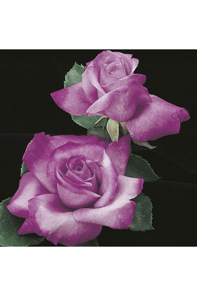 Fragrant Plum Grandiflora Rose plants for sale