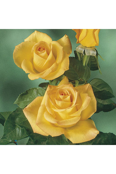 Gold Medal Floribunda Rose plants for sale