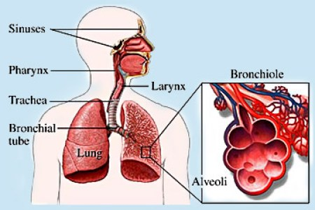 Pictures of respiratory system in human 4k pictures 4k pictures chapter the human breathing system leavingcertbiology net respiratory system wikipedia respiratory system human being anatomy respiratory system respiratory ccuart Choice Image