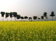 Activists launch 'Sarson Satyagraha' against GM Mustard