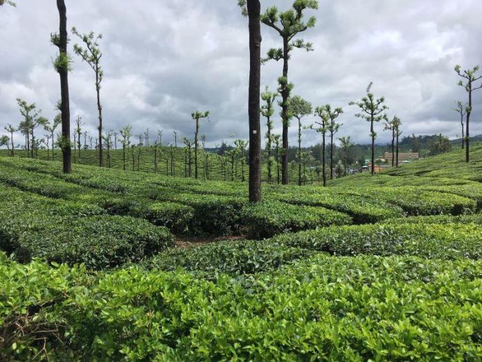 tea estate garden in Valparai