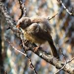 Grey Babbler