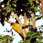 Lesser Yellow-naped Woodpecker