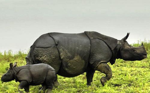 Assam Kaziranga rhino
