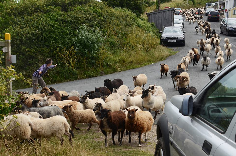 Moving-sheep-through-village