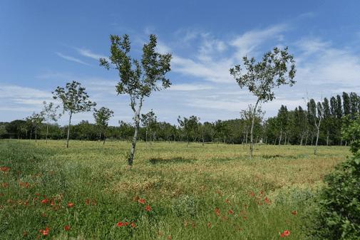 Hybrid walnuts in spring peas
