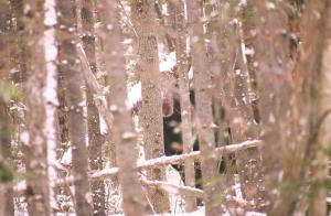 peeping moose maine 1997