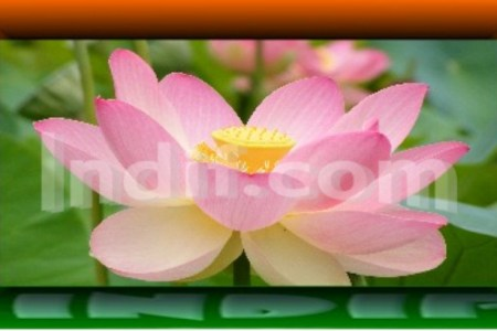 About lotus flower in hindi flowers online 2018 flowers online lotusflower jpeg about the lotus flower lotus flower information in hindi image collections flower lotus flower information in hindi gallery flower mightylinksfo