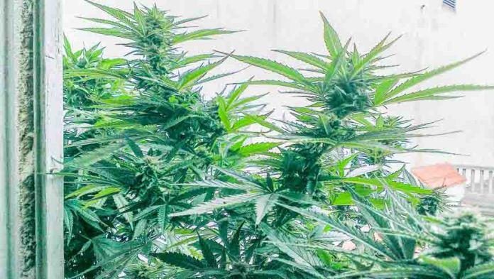 Konoplja - marihuana