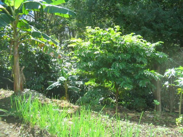 Pau Brasil - O renascer da Mãe Natureza