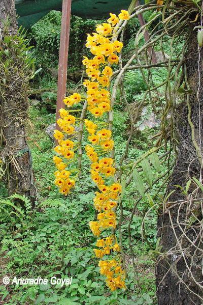आर्किड फूल