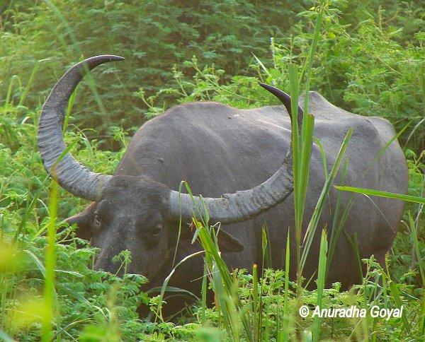जंगली भैंसा - काजीरंगा राष्ट्रीय उद्यान