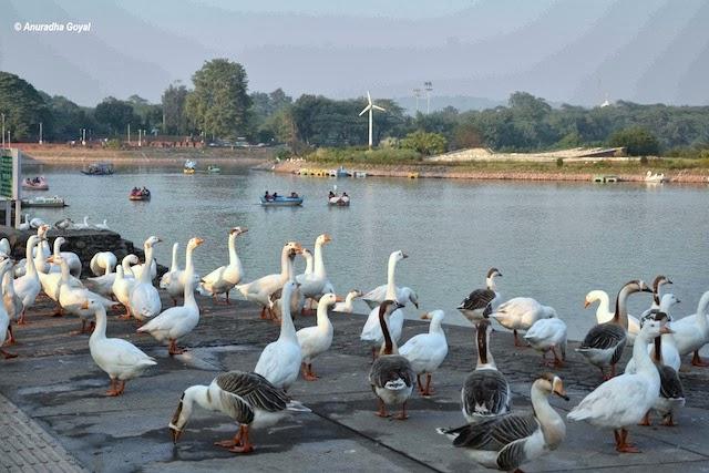 सुखना झील पर विचरण करते पक्षी
