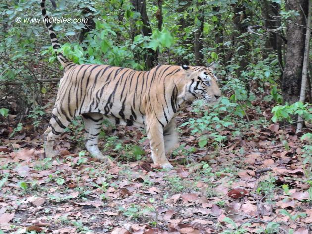 मुन्ना बाघ - अपना अधिकार क्षेत्र अंकित करता हुआ