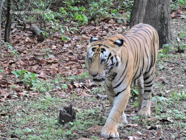 मुन्ना बाघ की राजसी चाल