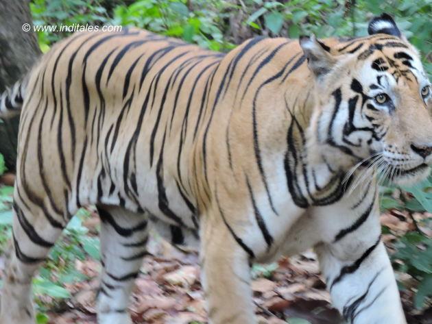 मुन्ना बाघ - कान्हा राष्ट्रीय उद्यान