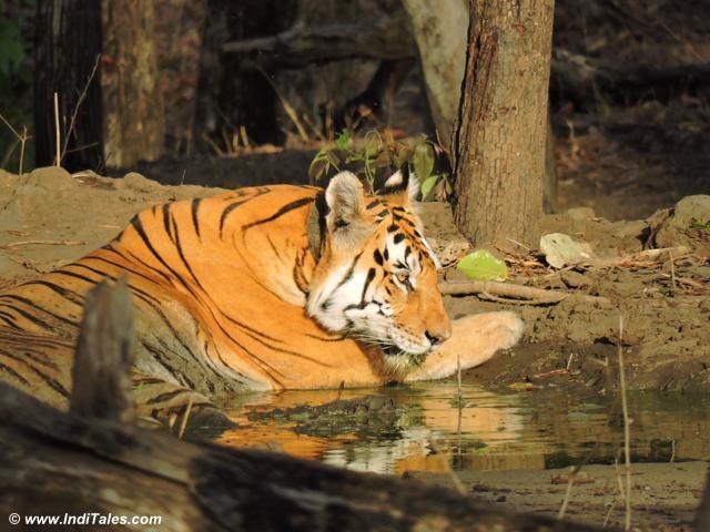 पेंच राष्ट्रीय उद्यान की प्रसिद्द बाघिन