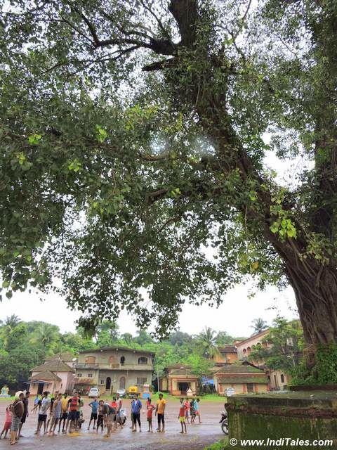 पीपल का पेड़ - चिक्कल कालो का साक्षी