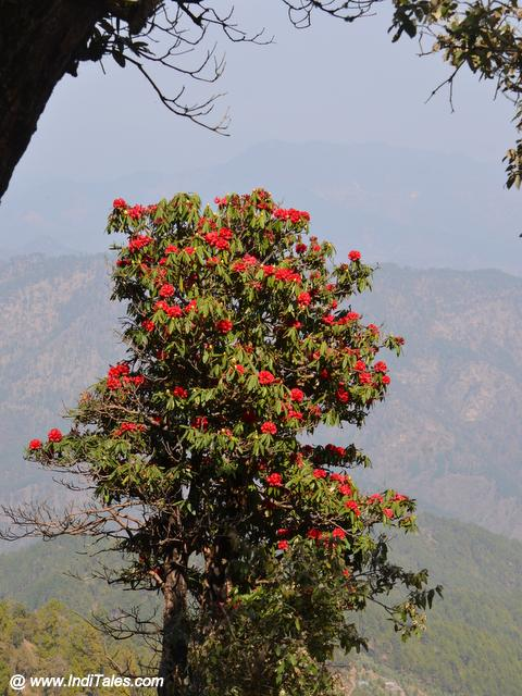 लाल बुरुंश फूलों से लादे पेड़