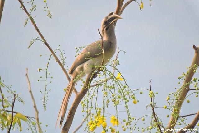धनेश - कण्वाश्रम में आज भी पक्षी विहरण करते हैं